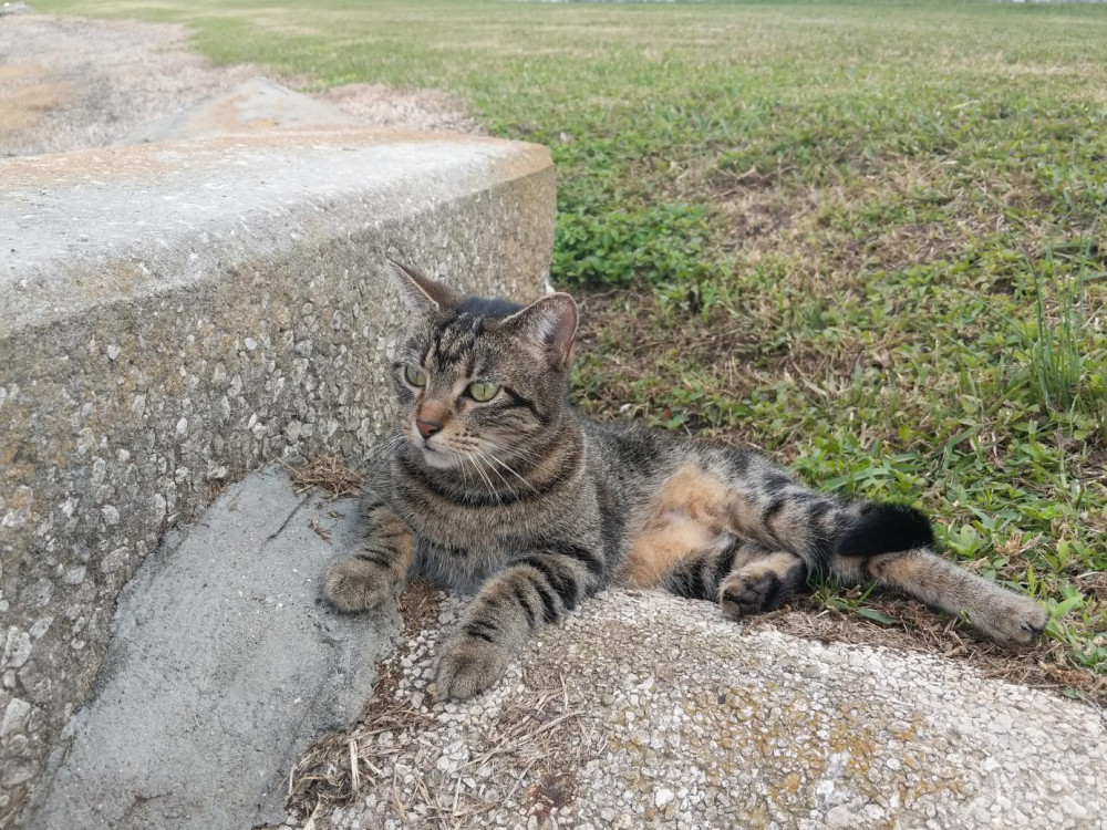 Lost Female Cat (Brown and Black stripes, Tabby)