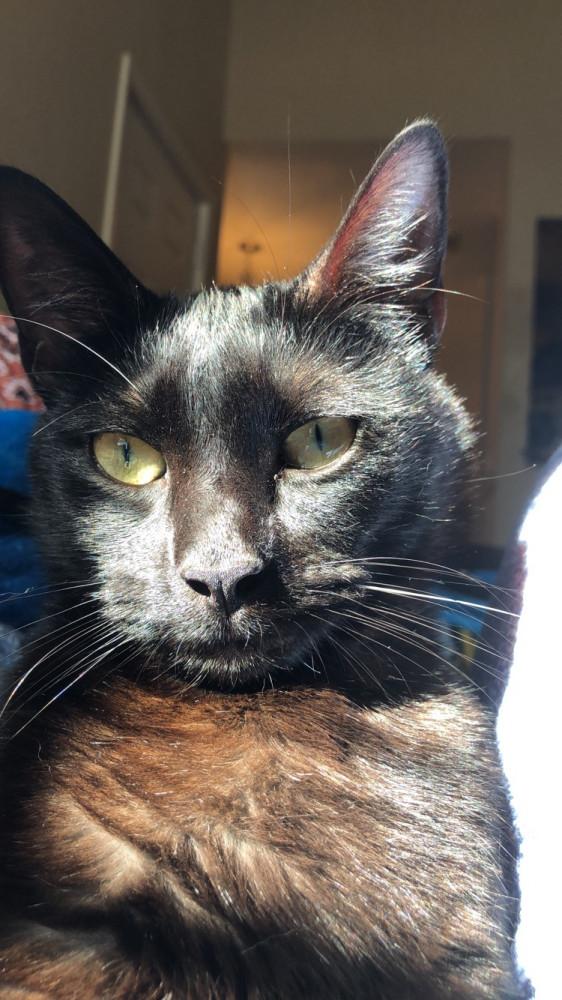 Lost Male Cat (Black, DSH)