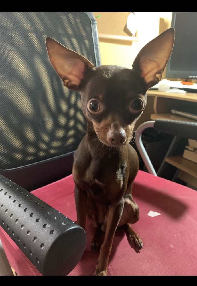 Lost Male Dog (Golden brown, Chihuahua)