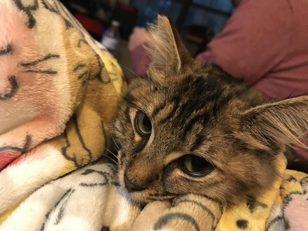Found Female Cat (Grey, Maine coon mix)