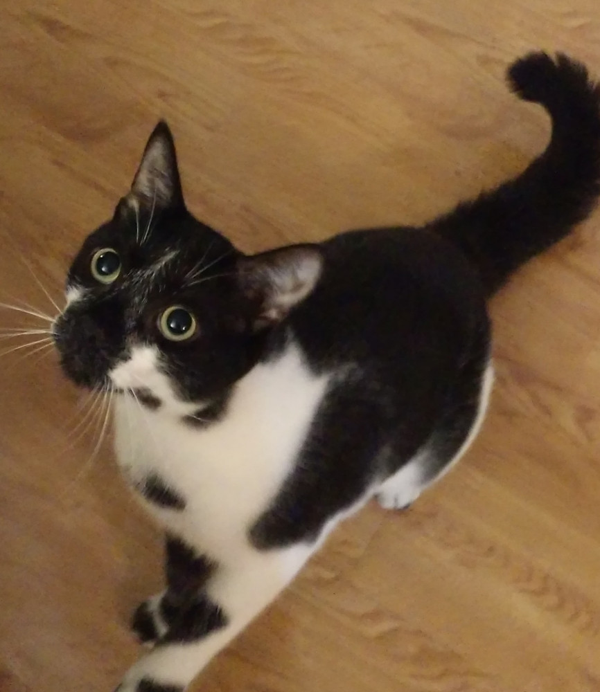 Lost Male Cat (Black and white, American shorthair)