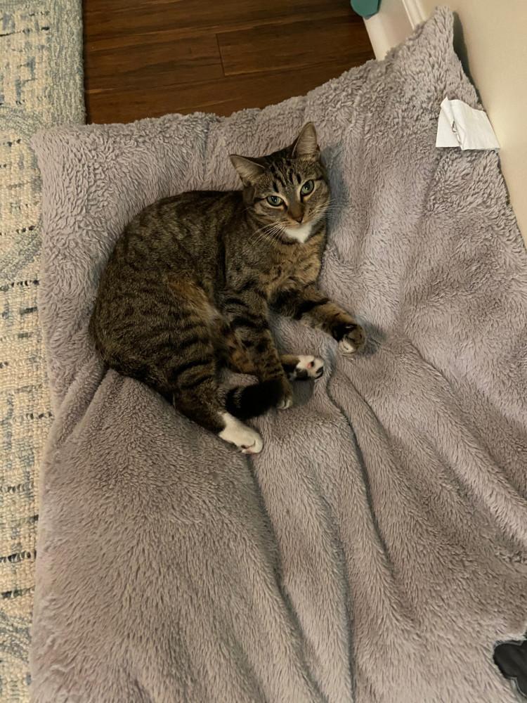 Lost Female Cat (Grey, Domestic Shorthair Tabby)