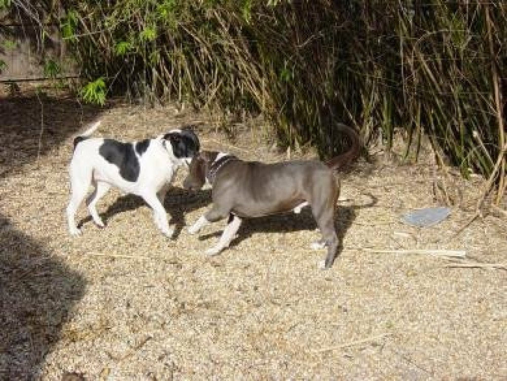 Reunited Male Dog (Blue and White with black spots, Blue Pitbull and Bluetick mix)