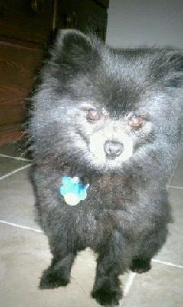 Reunited Male Dog (Black w/ a few white markings, Pomerainian (toy))