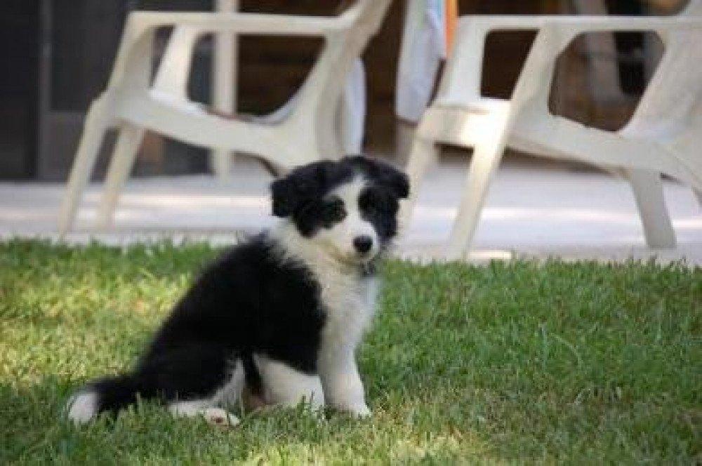Reunited Male Dog (black & white, Border Collie)