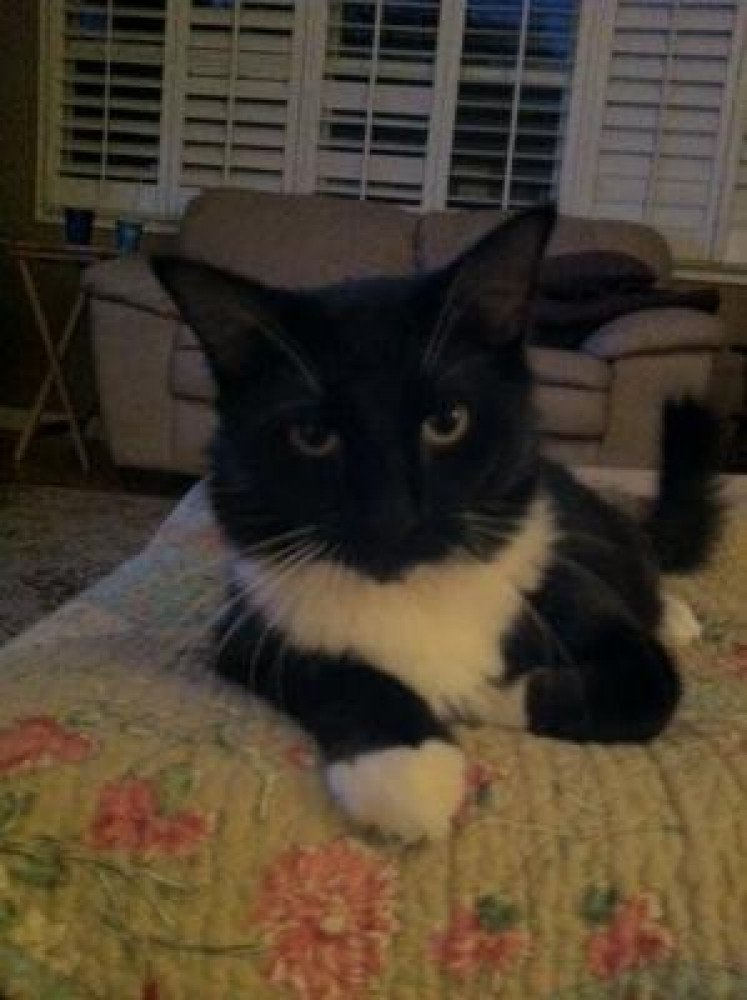 Reunited Male Bird (Black and White, Maine Coon mix)