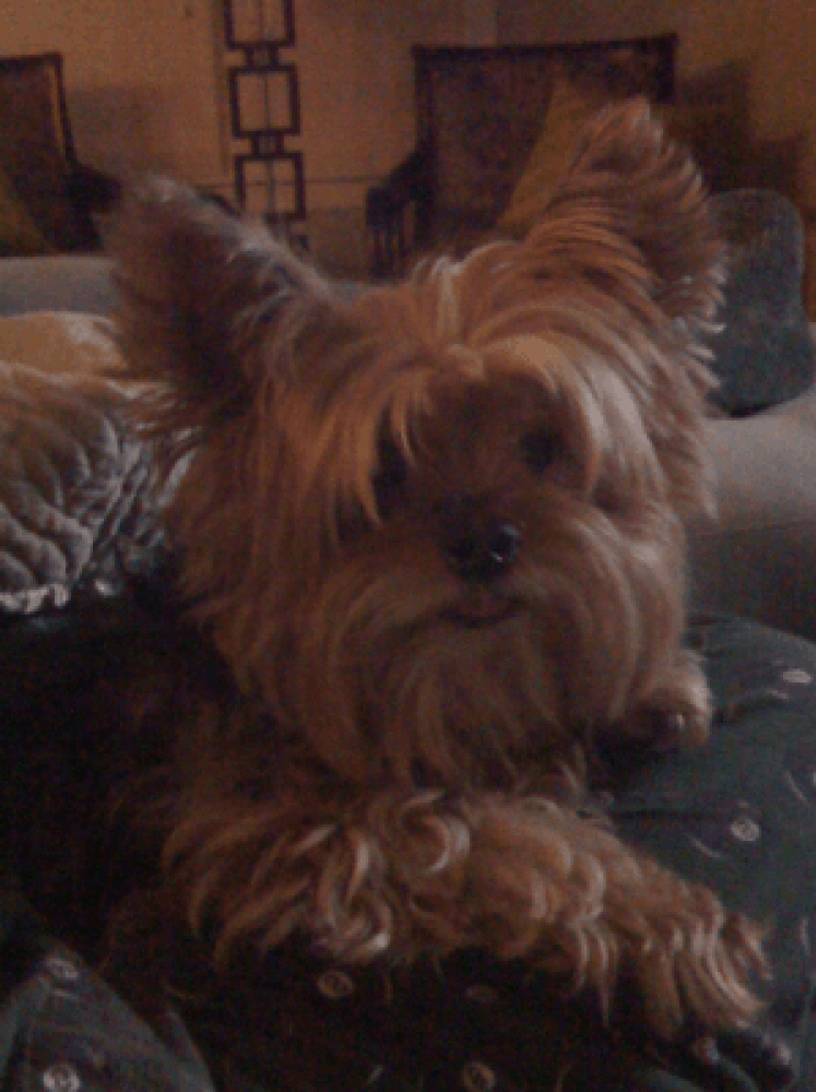 Reunited Male Dog (Black, Tan, Silver, Yorkie)