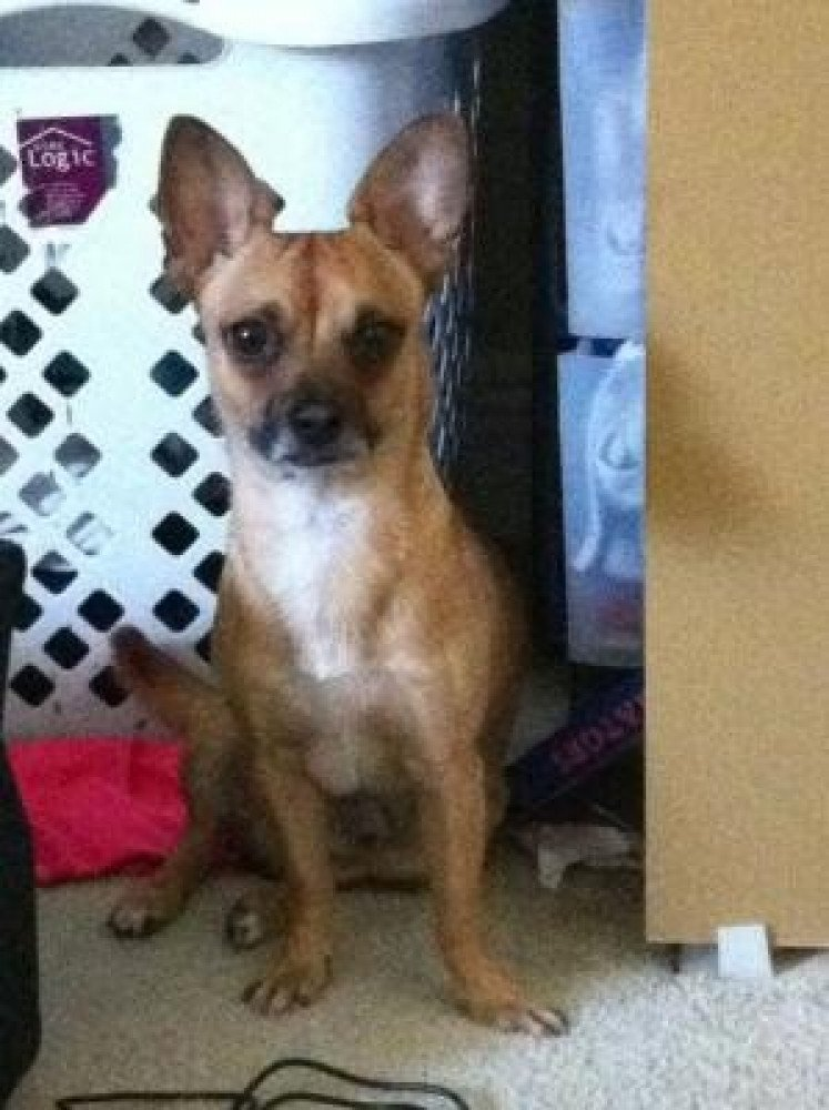 Reunited Male Dog (tan with white chest/black around mouth, chihuahua)