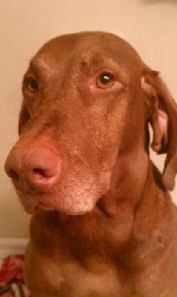 Reunited Male Dog (Red, Viszla)