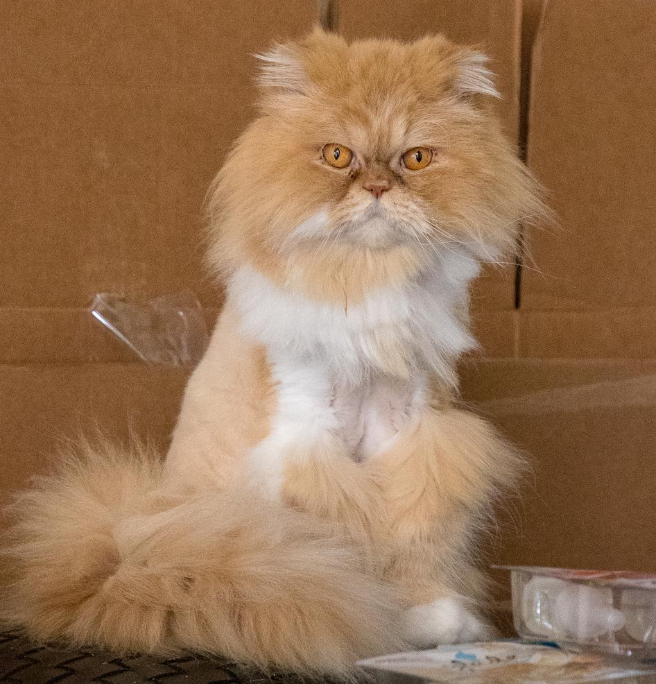 Lost Male Cat (Orange, Persian)