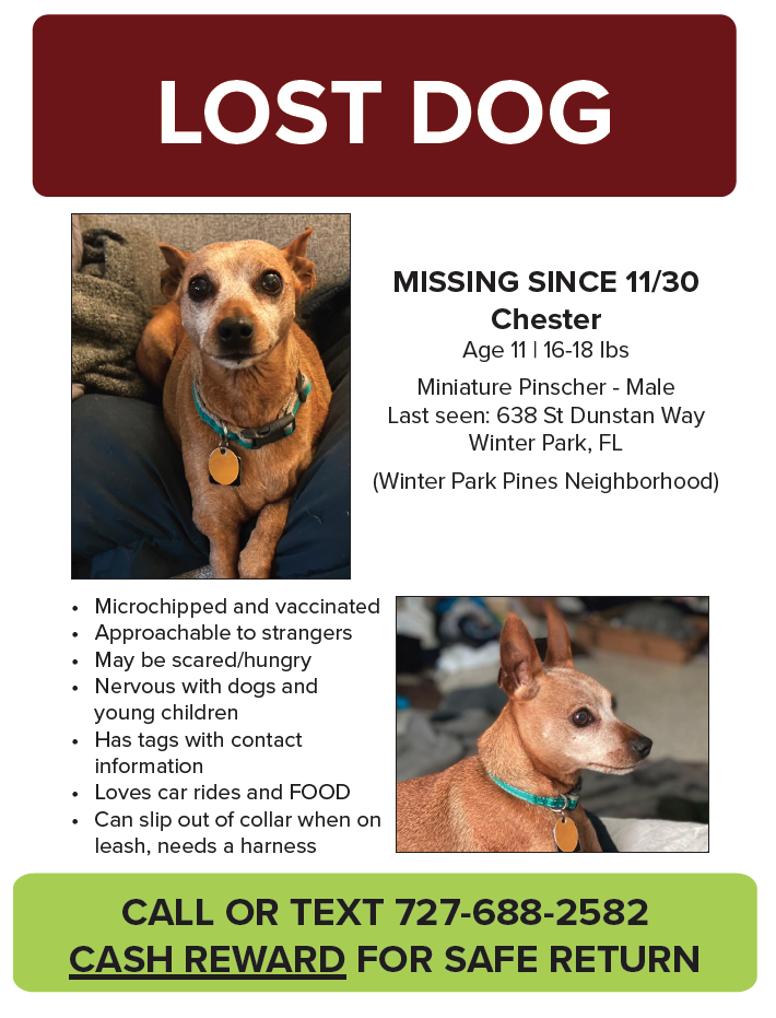 Lost Male Dog (Red with white face, Miniature Pincher)