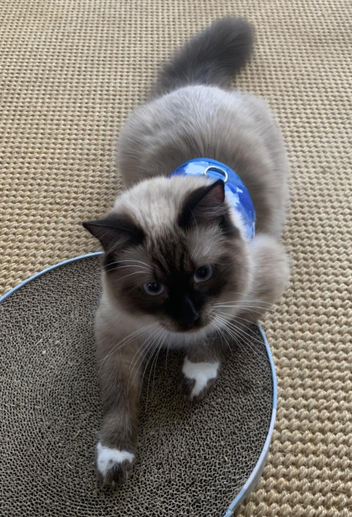 Lost Male Cat (White/Grey, Siamese Mix)